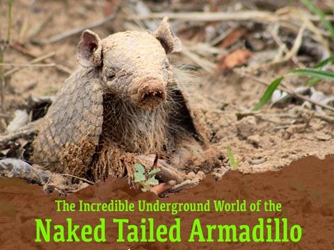 Naked Tailed Armadillo